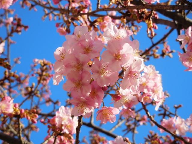 代々木公園の桜花見2020の見頃時期と開花状況、満開はいつまで?ライトアップ情報