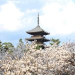 仁和寺の御室桜2019の見頃時期と開花満開予想!ライトアップや混雑情報