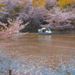 井の頭公園の桜花見2019の見頃と開花予想!満開やライトアップはいつまで?