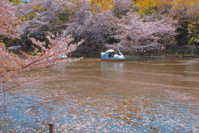 井の頭公園の桜花見2020の混雑や場所取りのルール、禁止事項と時間