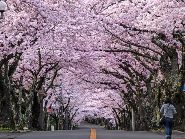 伊豆高原桜並木の花見2019の見頃満開時期と開花状況!ライトアップや混雑状況