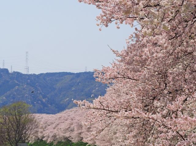 淀川河川公園背割堤地区の桜花見2019の開花状況と見頃満開時期!駐車場と混雑
