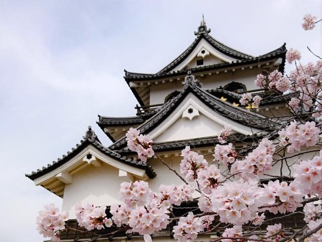 彦根城桜まつりの花見2019の見頃、満開時期や開花状況、ライトアップ情報