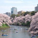 千鳥ヶ淵桜祭りの花見2019の開花状況と見頃満開時期!ライトアップと混雑状況