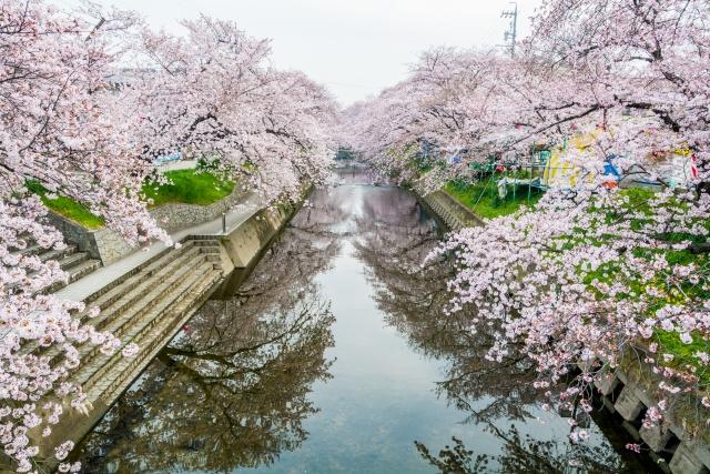 五条川桜祭りの花見2019の桜並木見頃と開花状況!屋台出店とライトアップ、混雑