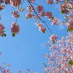 新宿御苑の桜2019の見頃時期と開花予想、満開はいつまで?ライトアップ情報