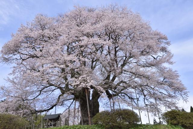醍醐桜祭りの花見2019の開花状況と見頃満開時期!ジェラートやライトアップ情報