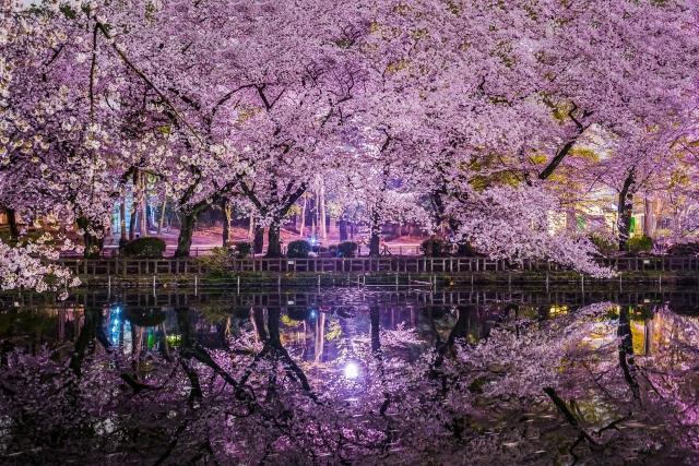 井の頭公園の夜桜ライトアップ