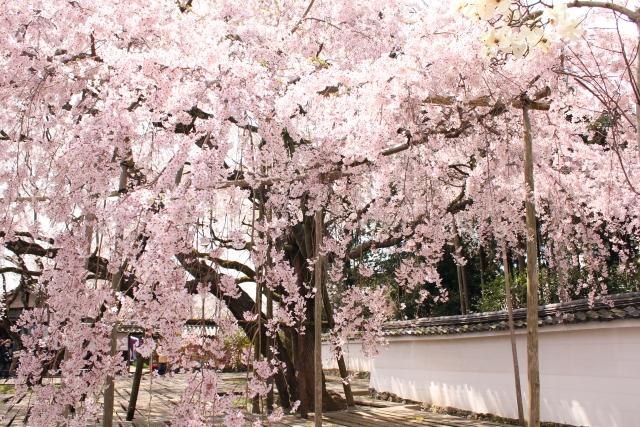 醍醐寺の桜花見2019の見頃満開時期はいつまで?開花予想とライトアップ情報