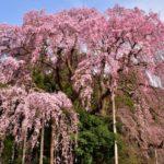 桜の花見スポット2019東北宮城名所!開花予想と見頃満開時期、ライトアップ情報