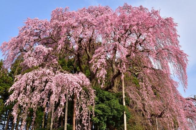 三春滝桜の花見2019の見頃時期と開花満開予想!ライトアップや駐車場情報
