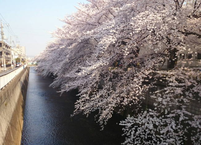 石神井川の桜花見2019の開花状況と見頃満開時期!ライトアップや屋台出店、混雑