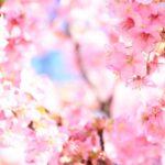 高田公園桜祭りの花見2019の見頃時期と開花満開予想!ライトアップや混雑渋滞状況