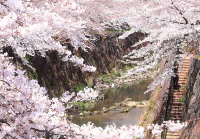 山崎川桜並木の花見2019の混雑や場所取りのルール、禁止事項、時間帯