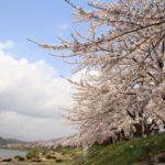 角館桜祭り2019の見頃時期と開花満開予想!駐車場やライトアップ情報