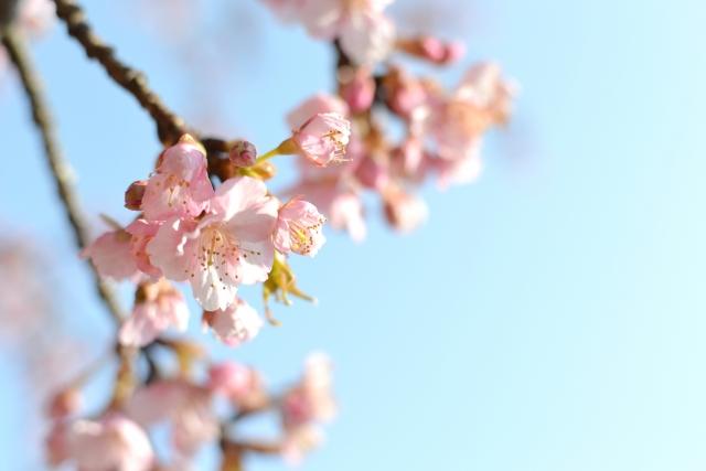 砧公園の桜花見2019の混雑や場所取りの時間、ルールと禁止注意事項