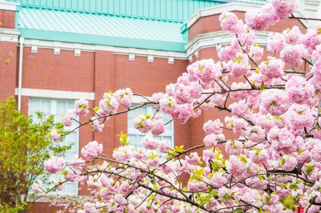 造幣局 桜の通り抜けの花見2019の期間はいつから?開花状況とライトアップ時間