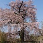 円山公園(京都)の桜花見2019の混雑や場所取りのルール、禁止注意事項