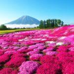 富士芝桜祭り2019の見頃時期と現在の開花状況!満開予想はいつからいつまで?